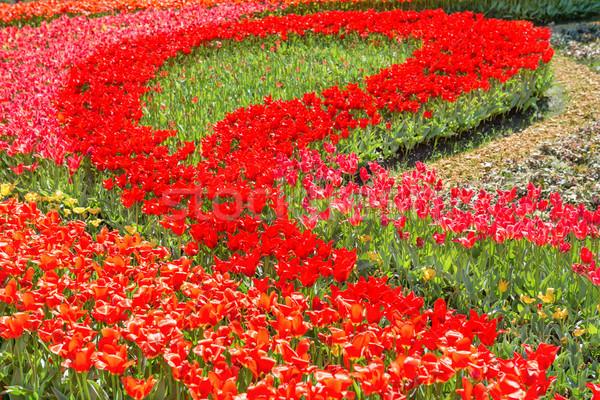 Virágágy piros tulipánok gyönyörű kert virág Stock fotó © vapi
