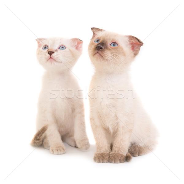 Kettő ül fajtiszta kiscicák izolált fehér Stock fotó © vapi