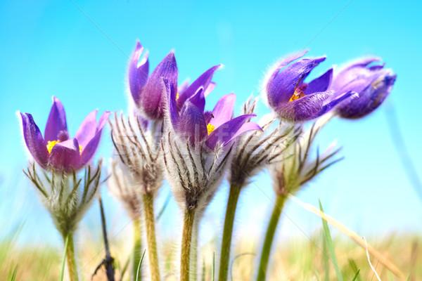Сток-фото: фиолетовый · цветы · зеленый · Солнечный · области · весны