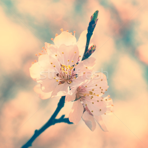 Primavera blanco flores de primavera árbol suave Foto stock © vapi