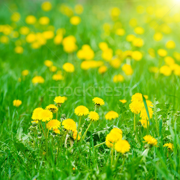 Amarelo leão verde campo verão Foto stock © vapi