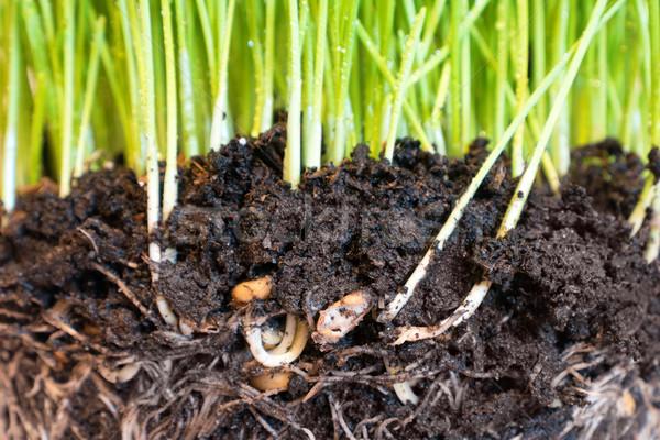 Groen gras waterdruppels wortels bodem macro shot Stockfoto © vapi