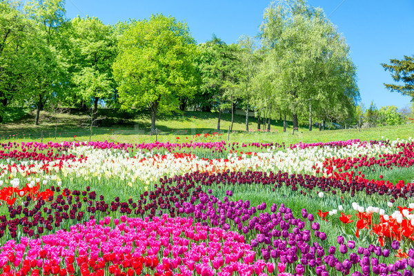 Veld tulpen park veel kleurrijk bloemen Stockfoto © vapi