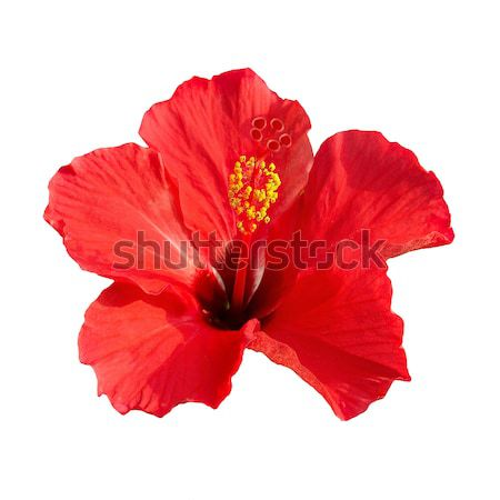 Hibiscus rosa sinensis Stock photo © vapi