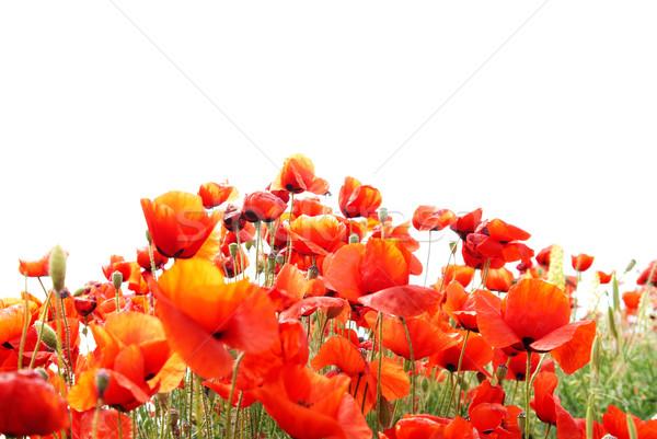 Piros pipacsok gyönyörű izolált fehér virág Stock fotó © vapi