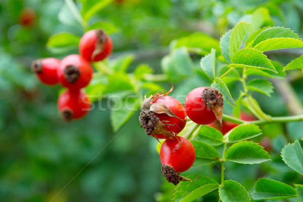 Rood heupen bladeren bloem voedsel steeg Stockfoto © vapi