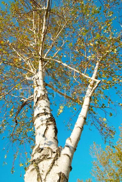 ősz nyírfa kék ég tavasz út levél Stock fotó © vapi