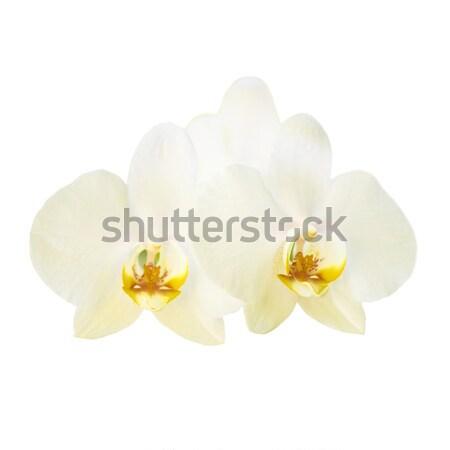 Stockfoto: Twee · Geel · orchidee · bloemen · geïsoleerd · witte