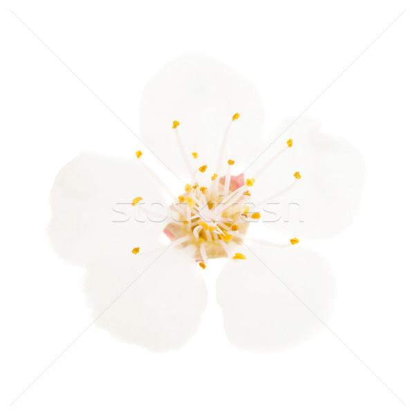 Fiore bianco isolato bianco ciliegio albero macro Foto d'archivio © vapi