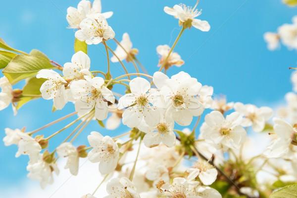 Fehér cseresznye virágok kék ég égbolt fa Stock fotó © vapi