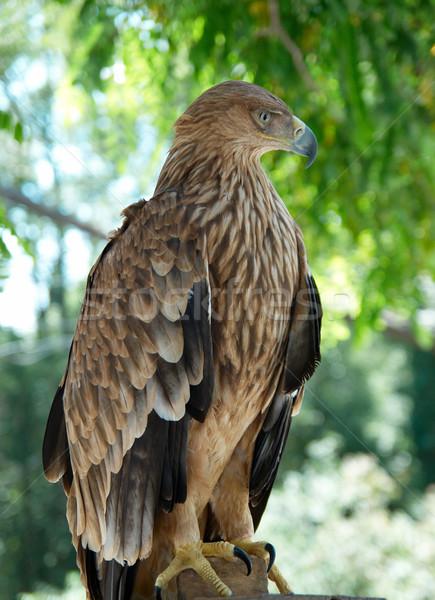 Halcón águila sesión árbol naturaleza belleza Foto stock © vapi