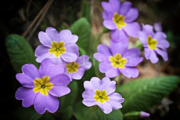 Spring pink flowers Stock photo © vapi