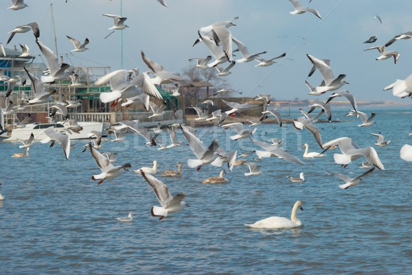Flock of seagulls Stock photo © vapi