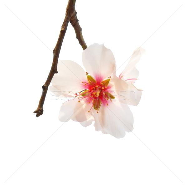 Amandel boom roze bloemen voorjaar Stockfoto © vapi
