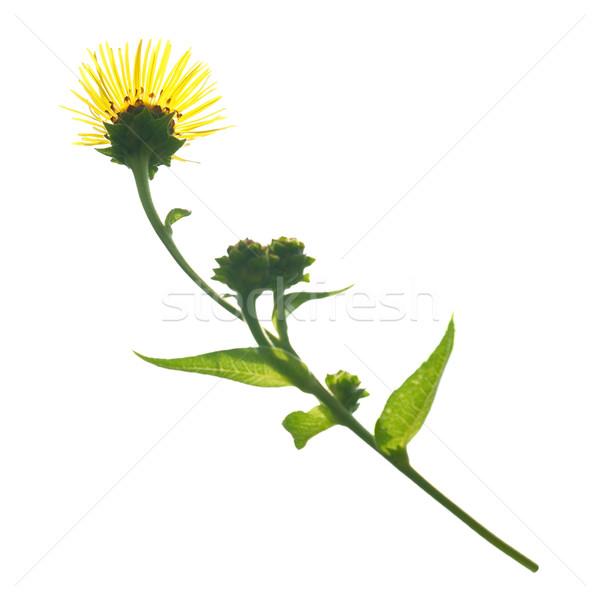 Yellow flower Stock photo © vapi