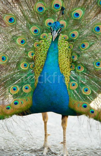 Paon ouvrir train texture oeil oiseau Photo stock © vapi