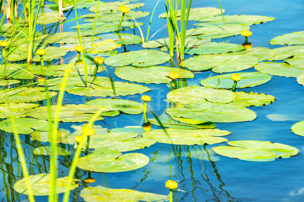 Eau Lily étang fleur Lotus laisse Photo stock © vapi
