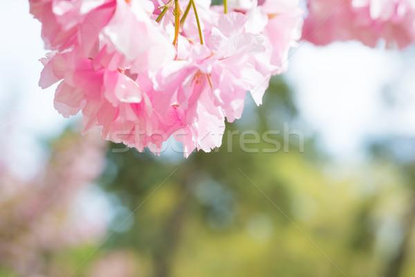 Pembe sakura çiçekler bahar kiraz ağaç Stok fotoğraf © vapi