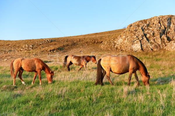 Herd of wild grazing horses Stock photo © vapi