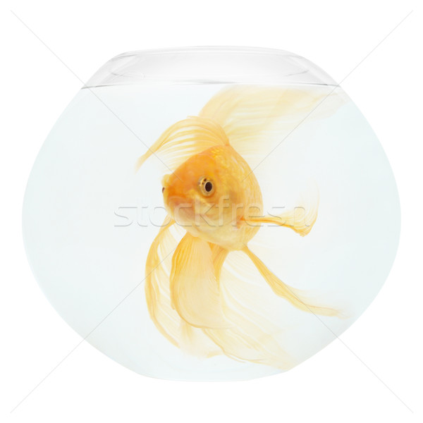A golden fish in aquarium Stock photo © vapi
