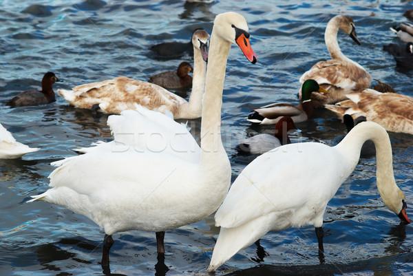 Bianco acqua famiglia wedding amore uccello Foto d'archivio © vapi