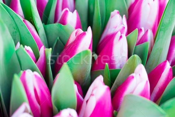 Rosa blanco tulipanes hojas verdes naturaleza primavera Foto stock © vapi