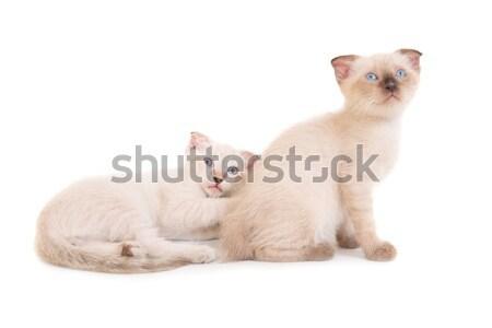 Sitting purebred sphinx cat Stock photo © vapi