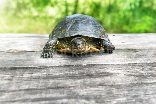 Stock fotó: Teknős · fából · készült · asztal · napos · fű · ház