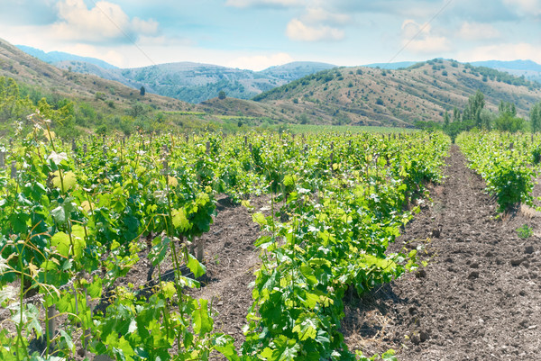 Vineyard and hills Stock photo © vapi