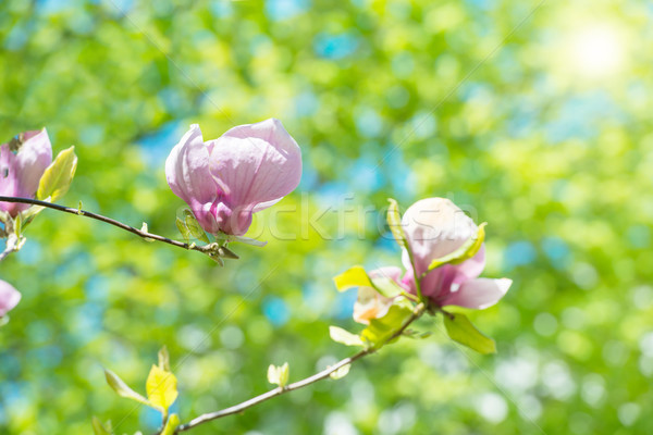 Flowers of Magnolia soulangiana Stock photo © vapi