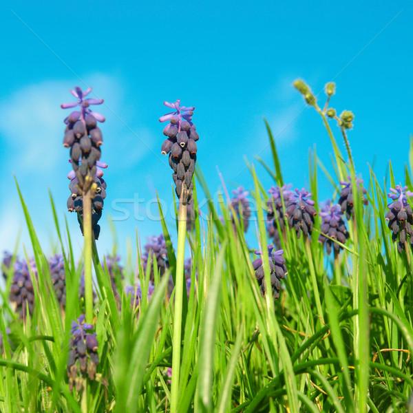 Azul flores uva verde primavera grama Foto stock © vapi