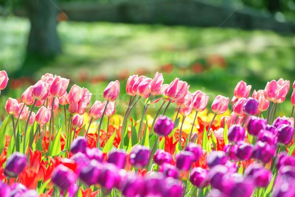 庭園 カラフル チューリップ 花 緑 公園 ストックフォト © vapi