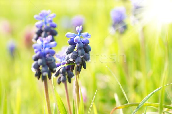 Grama verde azul flores flor folha beleza Foto stock © vapi