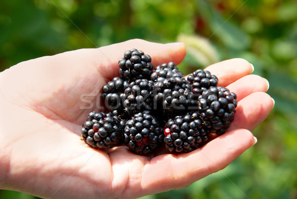 Stack of blackberry in a hand. Stock photo © vapi