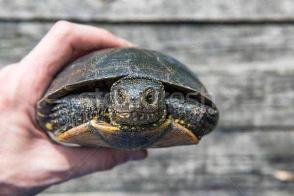 A hand with big pet turtle Stock photo © vapi