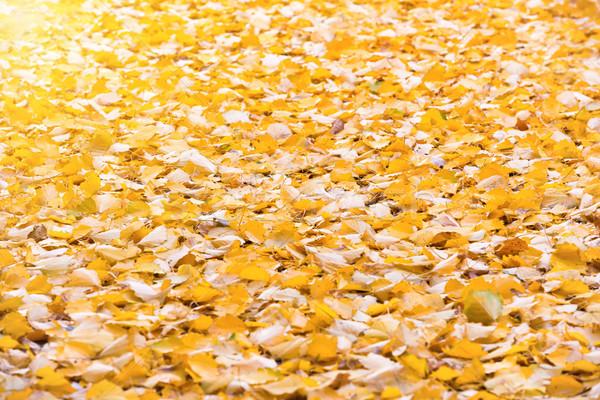 Autumn orange fallen leaves Stock photo © vapi