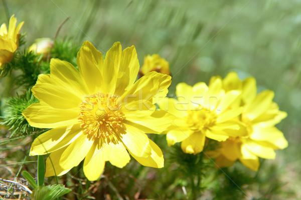 żółte kwiaty zielone dziedzinie kwiat charakter świetle Zdjęcia stock © vapi