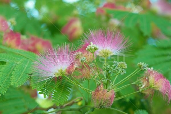 Flowers of acacia Stock photo © vapi