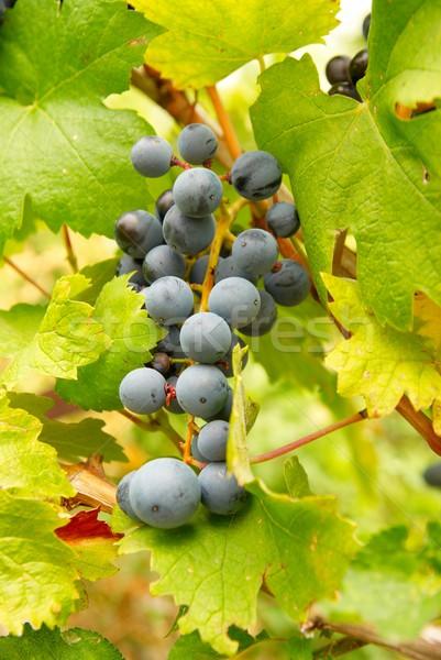 Bunch of black grapes. Stock photo © vapi