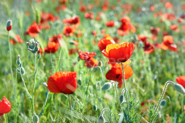 Red flowers poppies on field Stock photo © vapi