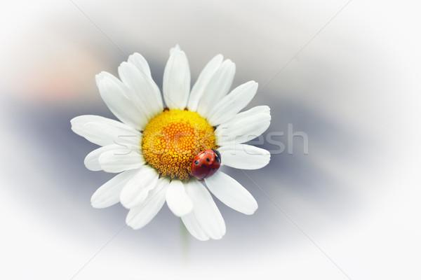 Fiore bianco Daisy camomilla rosso coccinella isolato Foto d'archivio © vapi
