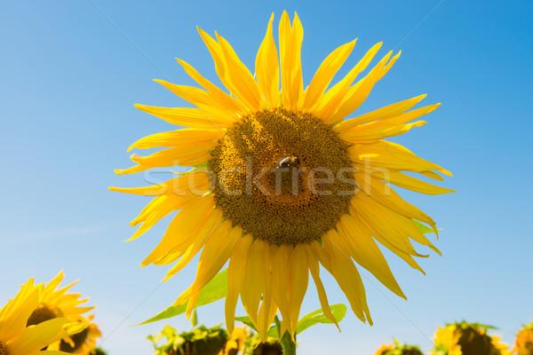 Field of yellow sunflowers Stock photo © vapi