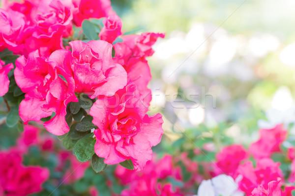 Purple spring flowers azalea Stock photo © vapi
