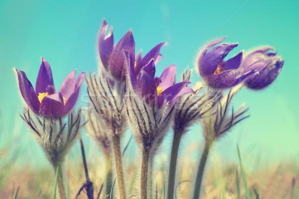 Сток-фото: фиолетовый · цветы · зеленый · Солнечный · области · небе