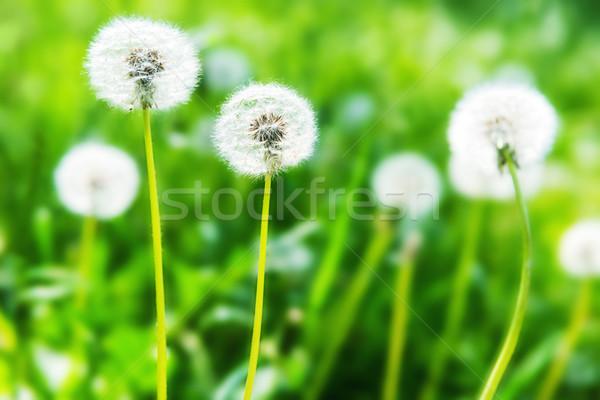 Branco leão verde gramado verão paisagem Foto stock © vapi