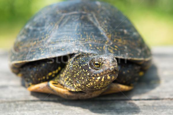 Stock fotó: Nagy · teknős · öreg · fából · készült · asztal · napos