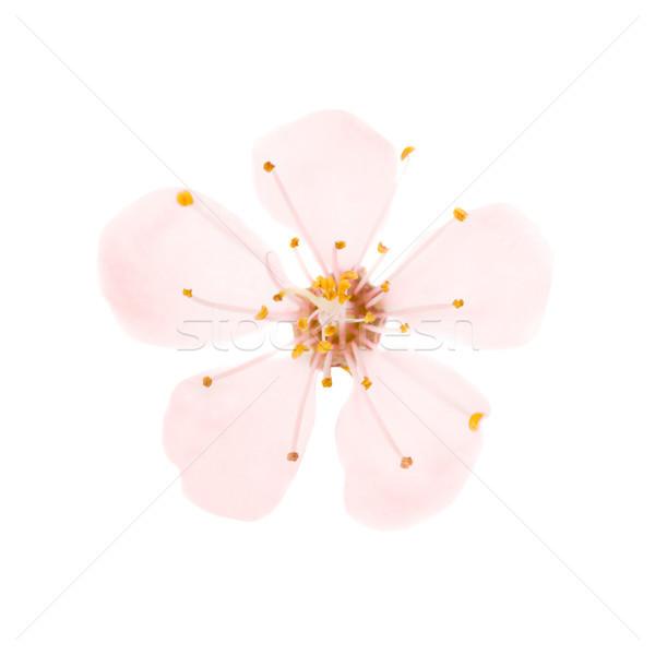 Flor rosa aislado blanco cereza árbol macro Foto stock © vapi