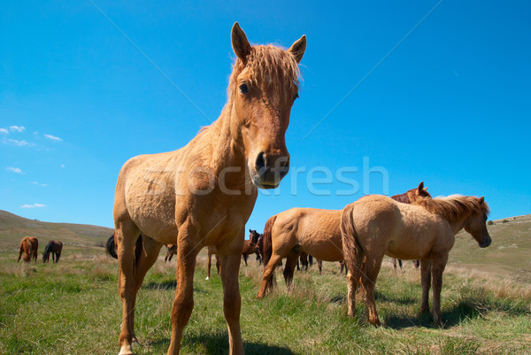 Herde Pferde Bereich blauer Himmel Familie Gras Stock foto © vapi