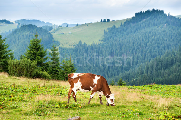Stock photo: Cows on the green field at mountains