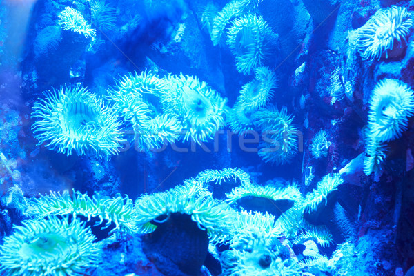 Blue tropical corals on a reef Stock photo © vapi